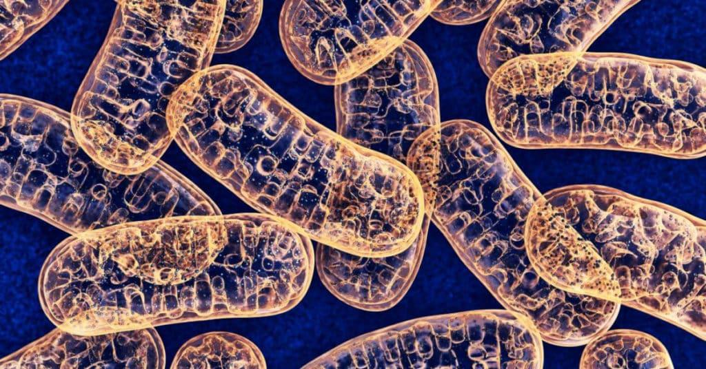 mitochondria and fat loss